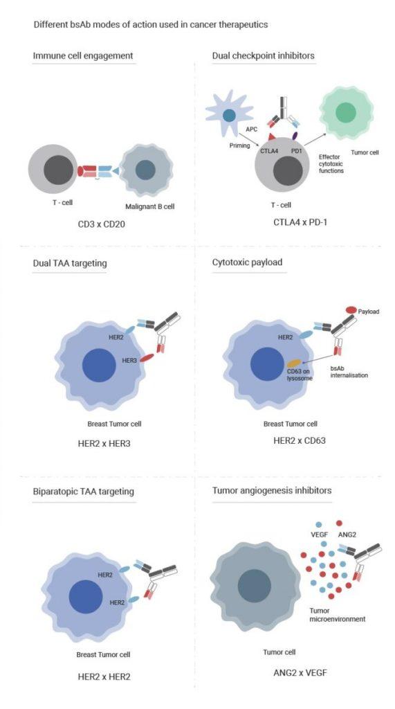 Bispecific Antibodies